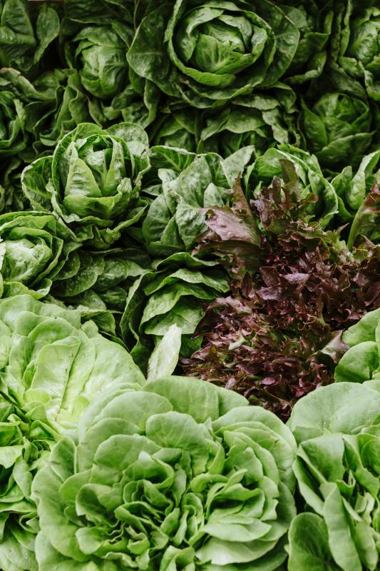 Image of healthy green lettuce
