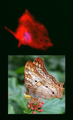 Astrocyte butterfly