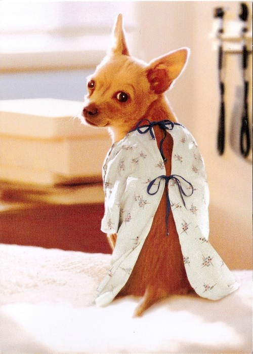 chihuahua in medical gown