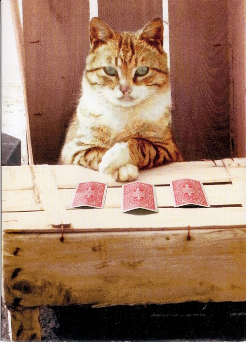 Cat playing pick a card
