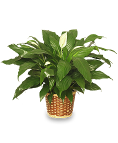 peace lilly spathiphyllum