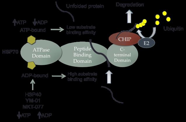 HSP70 Diagram