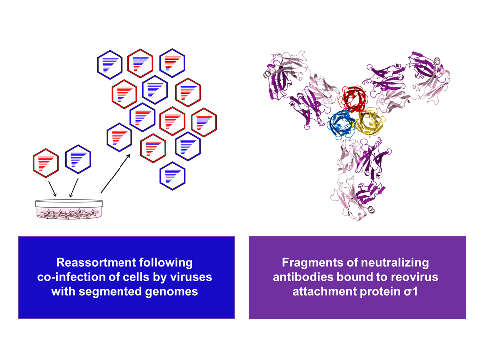 Viral diversity and antigenic properties
