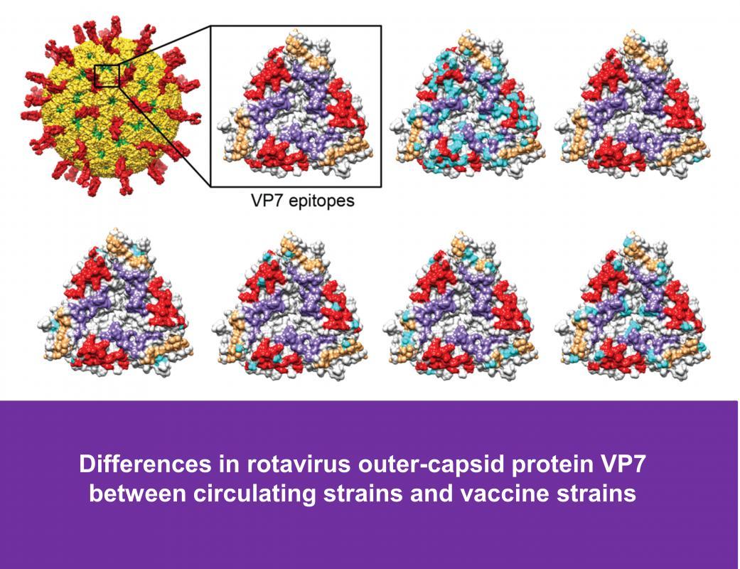 Rotavirus antigenic diversity